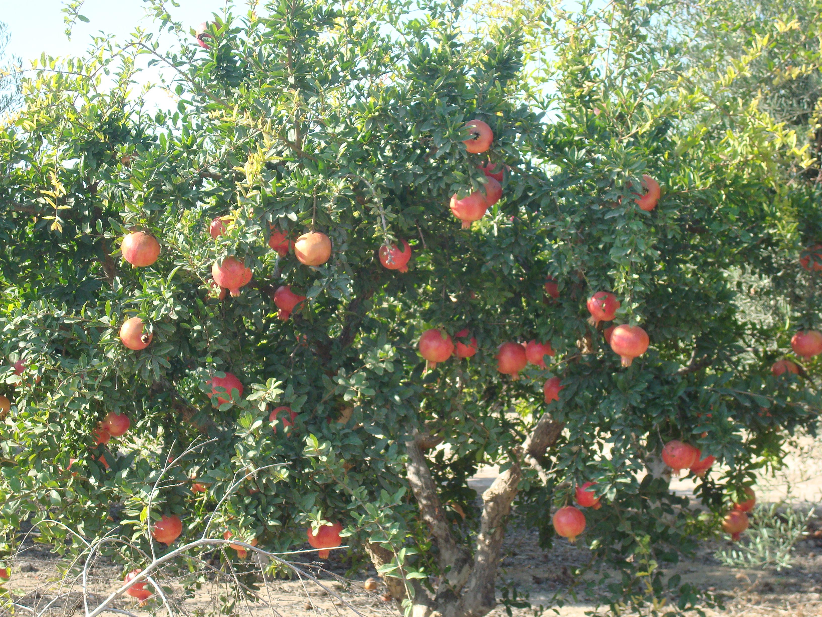 Viveros vipesa for Arbol granada de jardin